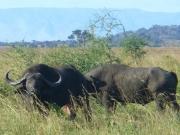 Nile Buffalo in Uganda