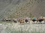 Trophy High Altai Argali Sheep Hunting Caravan in Mongolia