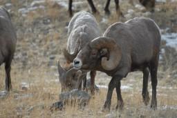 bighorn sheep hunting montana winter range ram